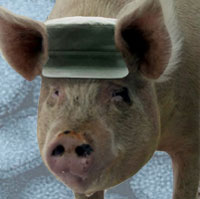 Animalism Swine Liberation Force leader, Napoleon, as he appeared in a video message posted on YouTube.